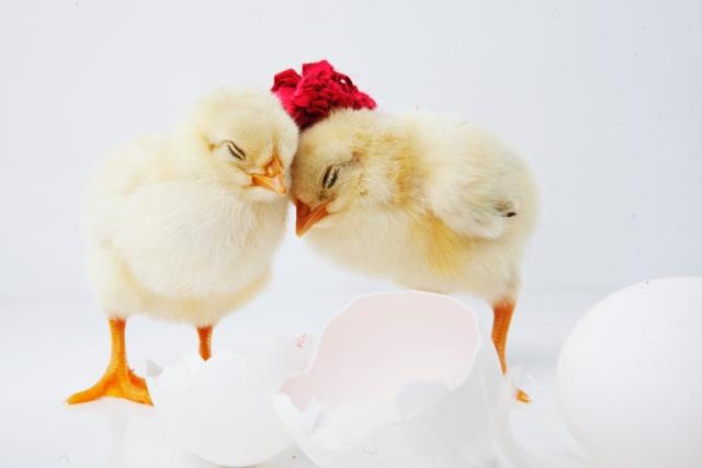 ひよこになるか卵になるか